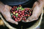 Proces Přípravy kávy a technologie a sběr zrn